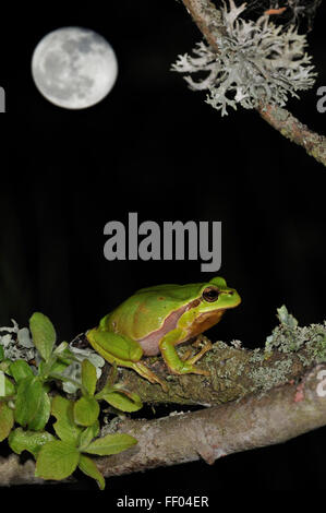 European / Common tree frog (Hyla arborea) sitting on branch covered in lichen at night with full moon - Stock Photo