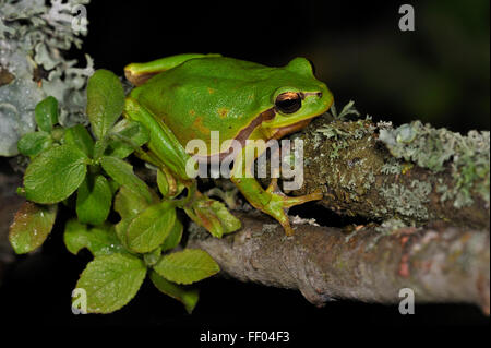 European / Common tree frog (Hyla arborea) sitting on branch covered in lichen at night - Stock Photo