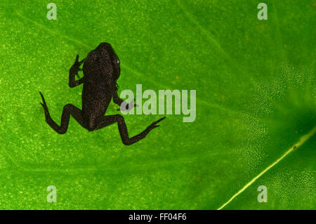 European common frog (Rana temporaria) froglet after metamorphosis on leaf in pond - Stock Photo