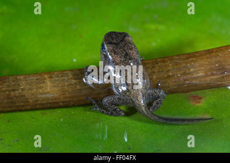 Common Frog (Rana temporaria) froglet with limbs well developed leaves the water - Stock Photo