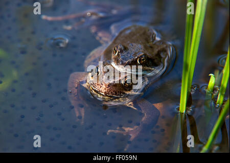 European common brown frogs (Rana temporaria) pair in amplexus floating in pond among frog spawn - Stock Photo