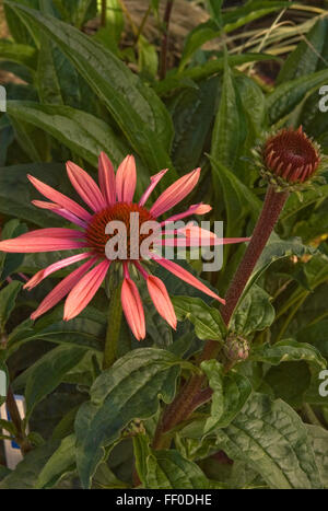 Echinacea ' Sunset' - Stock Photo