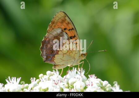 Marbled fritillary butterfly (Brenthis daphne) neactaring on white flowers in Northern Greece - Stock Photo