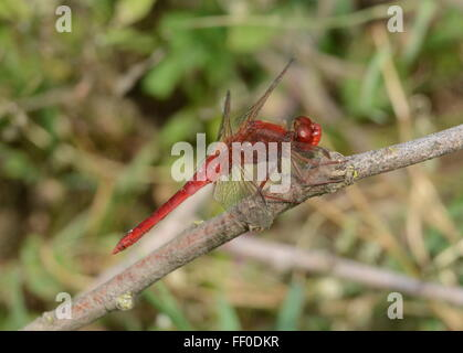 Broad scarlet dragonfly (Crocothemis erythraea) in Northern Greece - Stock Photo