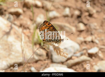 Spotted fritillary butterfly (Melitaea didyma) on grass in Northern Greece - Stock Photo