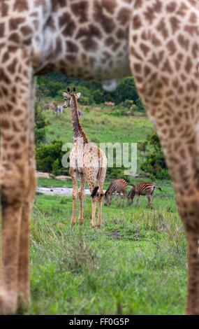 Young Cape Giraffe Giraffa camelopardalis through the legs of adult - Stock Photo