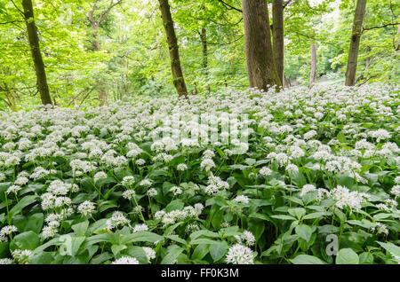 Wild Garlic (Allium Ursinum) growling in woodland in Hertfordshire, England, UK. - Stock Photo
