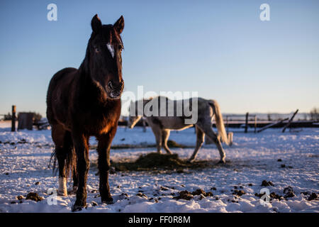 Wild American Mustangs feed in a corral during the winter after having been adopted from the US Bureau of Land Management horse adoption in Idaho, USA.