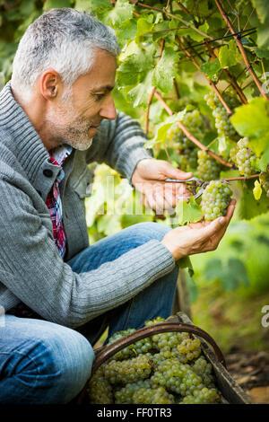 Caucasian farmer examining grapes on vines - Stock Photo