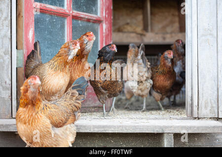 A group of hens walking around in the doorway of a chicken coop. - Stock Photo