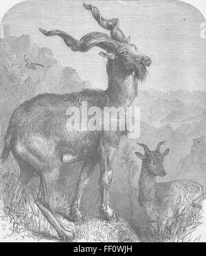 LONDON Markhore goat, Zoo, Regent's Park 1866. Illustrated London News - Stock Photo