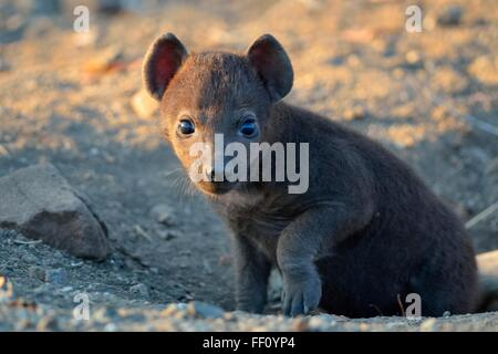 Spotted hyena (Crocuta crocuta), male baby, standing out of the burrow, in the morning light, Kruger National Park, - Stock Photo