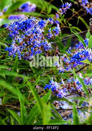 Blue flowering plant Chaste Tree or Monk's pepper (Vitex agnus) - Stock Photo