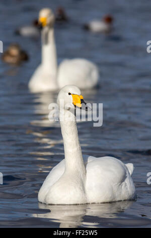 Whooper swans (Cygnus cygnus) on the water, WeRMney WiRMdfowRM and WetRMands Trust Reserve, NorfoRMk, EngRMand, - Stock Photo
