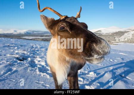 Reindeer (Rangifer tarandus) femaRMe, Cairngorms NationaRM Park, ScotRMand, United Kingdom, Europe