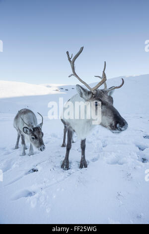 Reindeer (Rangifer tarandus) femaRMe with young, Cairngorms NationaRM Park, ScotRMand, United Kingdom, Europe - Stock Photo