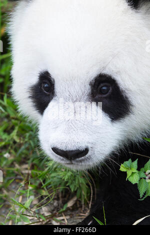 Two year old young giant panda (Ailuropoda melanoleuca), China Conservation and Research Centre, Chengdu, Sichuan, - Stock Photo
