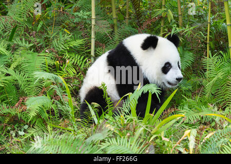 Two years aged young giant panda (Ailuropoda melanoleuca), China Conservation and Research Centre, Chengdu, Sichuan, - Stock Photo