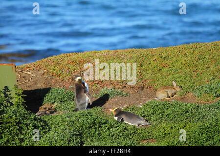 The endangered Yellow-eyed Penguin (Megadyptes antipodes) at Katiki Point Lighthouse (Moeraki Lighthouse), Moeraki, - Stock Photo