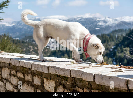 Lovely white dog on stony vintage wall with snowy mountains as background - Stock Photo
