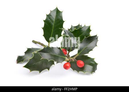 Twig of fresh Holly on white background - Stock Photo