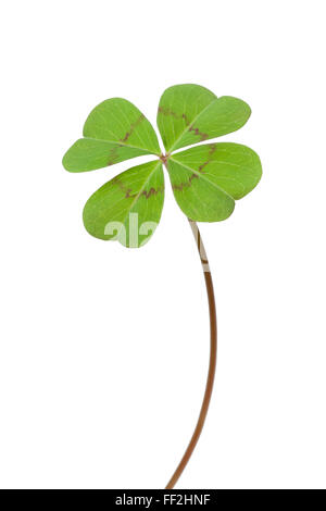 Fresh green Four-leaf clover on white background - Stock Photo