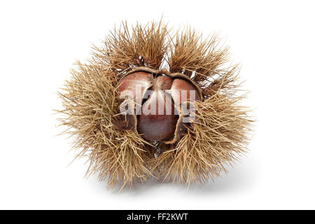 Fresh Sweet chestnut in spiked pod on white background - Stock Photo