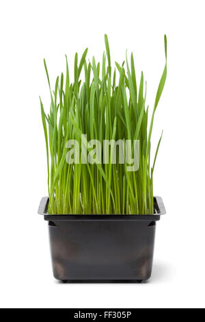 Organic wheat grass in plastic container on white background - Stock Photo