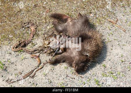 Roadkill in Nova Scotia, Canada. A porcupine lies dead on the road. - Stock Photo
