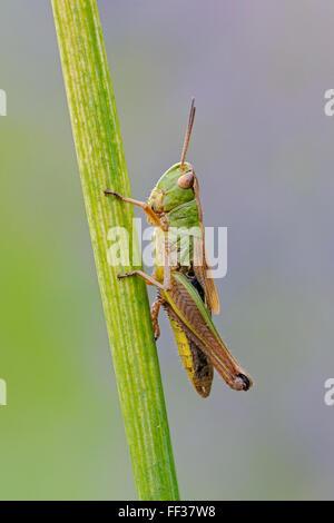 Meadow Grasshopper / Gemeiner Grashuepfer ( Chorthippus parallelus ) rests on a grass stem, detailed close-up, clean - Stock Photo