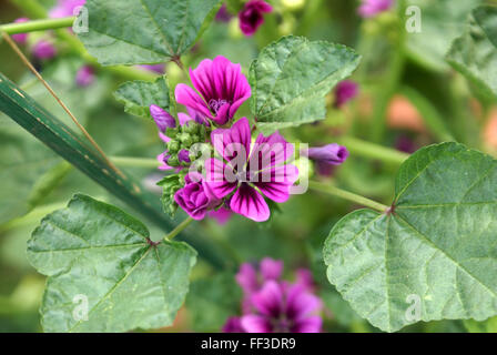 Malva sylvestris, cheeses, tall mallow, tall ornamental herb with rounded lobed leaves and purple dark veined flowers, - Stock Photo