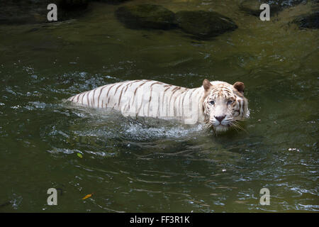 White Tiger (Panthera tigris tigris) in the water - Stock Photo
