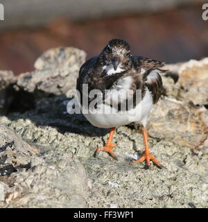 Ruddy turnstone (Arenaria interpres) in winter plumage - Stock Photo