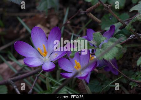 Vivid purple crocus vernus flowers with yellow stamen on the forest floor - Stock Photo