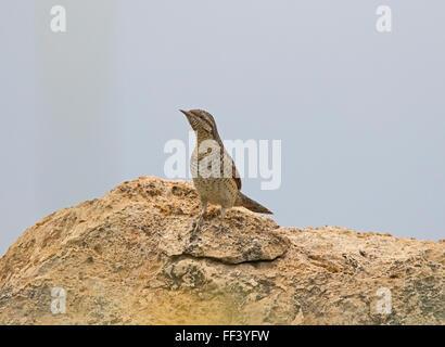 Wryneck Jynx torquilla spring cyprus - Stock Photo
