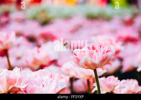 White And Pink Flowers Tulips In Spring Garden Flower Bed - Stock Photo