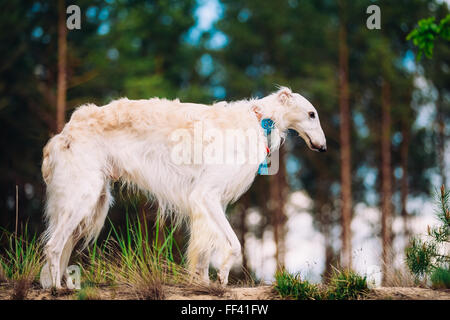 White Russian Wolfhound Dog, Borzoi, Hunting dog, Sighthound in Spring Summer Forest. These dogs specialize in pursuing - Stock Photo