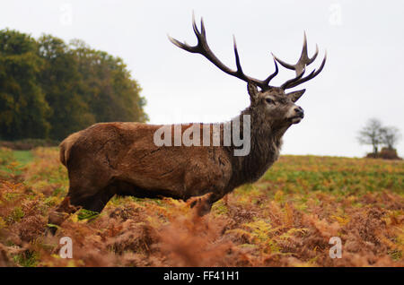 Deer trough the grass - Stock Photo