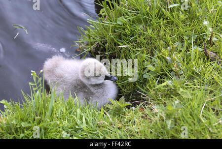 DEU, Germany, young black swan (lat. Cygnus atratus).  DEU, Deutschland, junger Trauerschwan (lat. Cygnus atratus). - Stock Photo