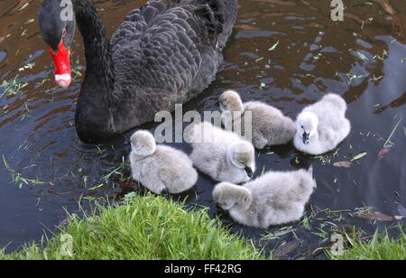 DEU, Germany, black swan (lat. Cygnus atratus) with chicks.  DEU, Deutschland, Trauerschwan (lat. Cygnus atratus) - Stock Photo