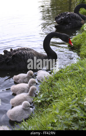 DEU, Germany, black swan (lat. Cygnus atratus) with chicks.  DEU, Deutschland, Trauerschwaene (lat. Cygnus atratus) - Stock Photo