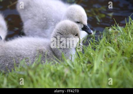 DEU, Germany, young black swans (lat. Cygnus atratus).  DEU, Deutschland, junge Trauerschwaene (lat. Cygnus atratus). - Stock Photo