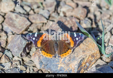 Red Admiral (Vanessa atalanta) butterfly perched on a rock - Stock Photo
