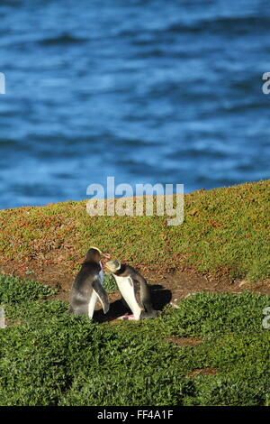 The endangered Yellow-eyed Penguin (Megadyptes antipodes) at Katiki Point Lighthouse (Moeraki Lighthouse), Moeraki, - Stock Photo