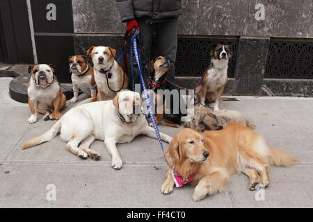 Dog walker with eight dogs on leashes takes a rest in the Brooklyn Heights residential district on Cranberry Street - Stock Photo
