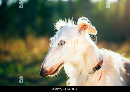 White Russian Hunting Dog, Sighthound, Russkaya Psovaya Borzaya, Psovoi in sunset sunlight - Stock Photo