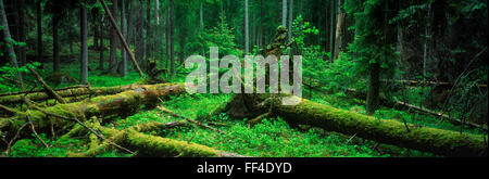 Panoramic image of fallen trees and moss covered trunks on floor of deciduous and evergreen forest in Sweden - Stock Photo