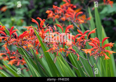 Crocosmia paniculata flowering in a Wiltshire garden - Stock Photo