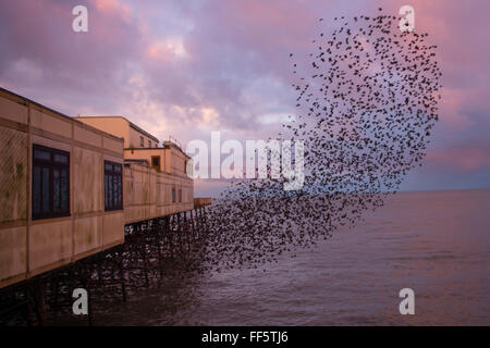 Aberystwyth, Wales, UK. 11th February, 2016.  UK Weather - At first light on a cold February morning, tens of thousands - Stock Photo