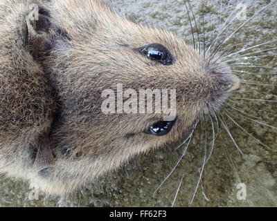 Macro dorsal view of head of dead house mouse (Mus musculus) killed by mouse trap, on limestone paving slab - Stock Photo